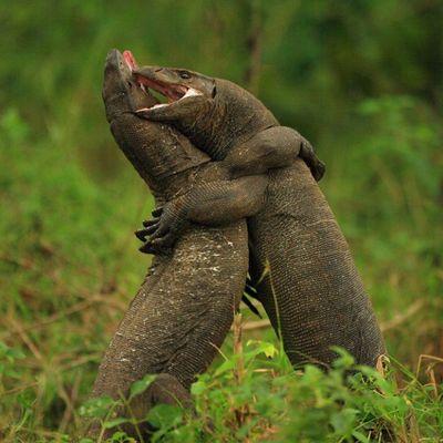 Wrestling tra lucertole