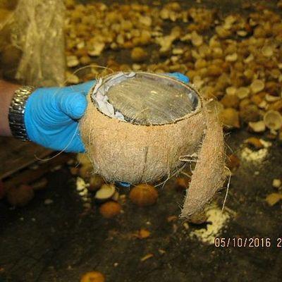 Marijuana dentro il cocco