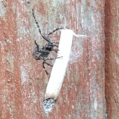 Ragno fattone si rolla uno spinello