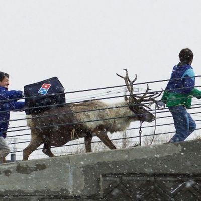Domino's in Giappone sta addestrando le renne per consegnare la zapi a Natale