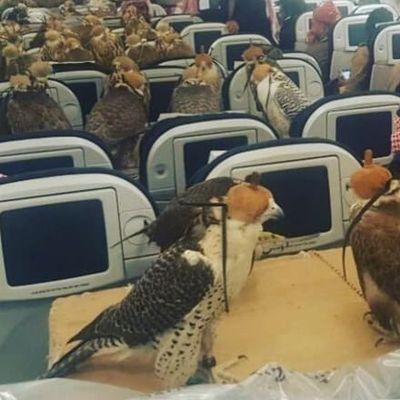 Sceicco compra 80 biglietti aerei per i suoi falchi