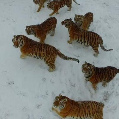 Combattimento poco equilibrato: gang di tigri vs drone